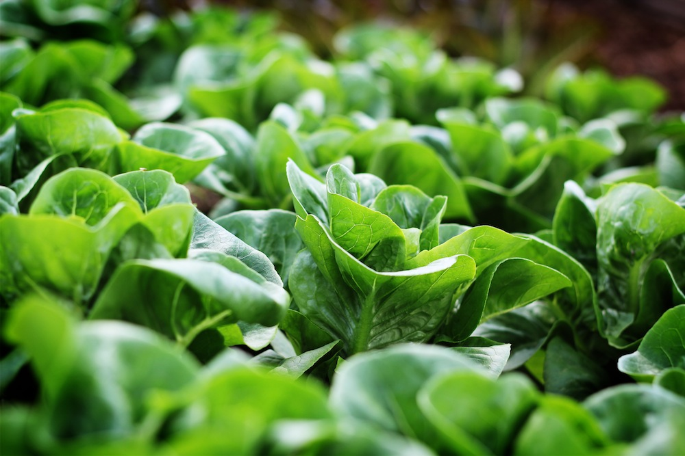 03 Lettuce3