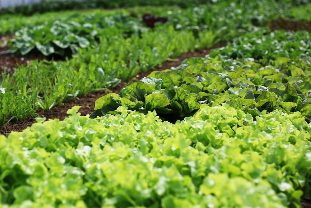 04 Lettuce4