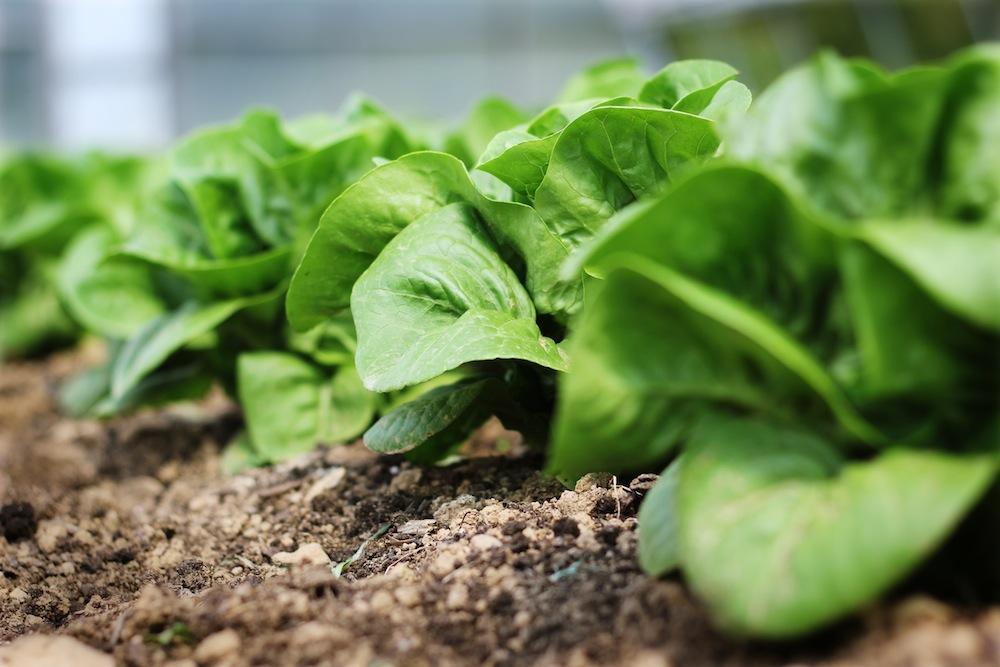 06 Lettuce