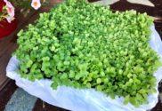 First Microgreens Tray