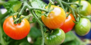 How to Grow Tomatoes and Peppers in a 5 Gallon Bucket
